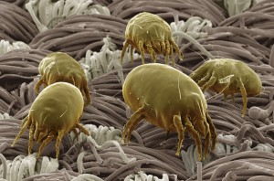 Dust mites on mattress